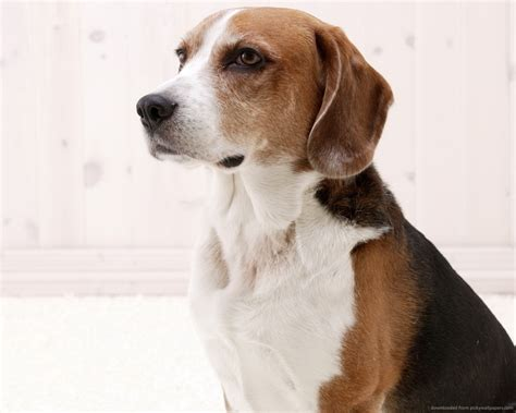american foxhound breed guide learn   american