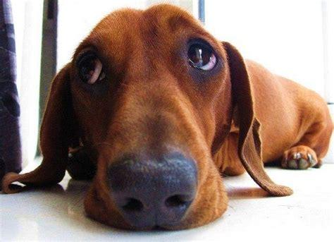 Sad Dog Eyes Dachshund