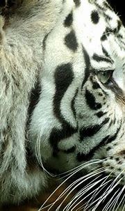 white, Animals, Tigers Wallpapers HD / Desktop and Mobile ...