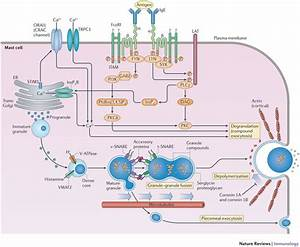 Type I Hypersensitivity Reaction  Mechanism And Clinical