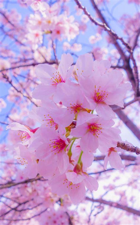 wallpaper bunga sakura hp kumpulan gambar bunga