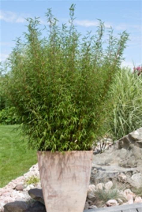 les diff 233 rentes utilisations des bambous dans un jardin