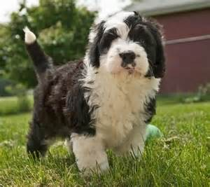 Old English Sheepdog Poodle Mix Puppies