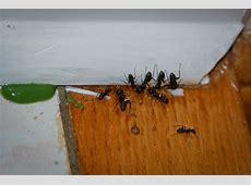 36 Small Black Ants In Bathroom Sink, Flying Bugs