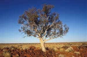 a royalty free image of ghost gum eucalyptus papuanaeri little sandy desert western australia