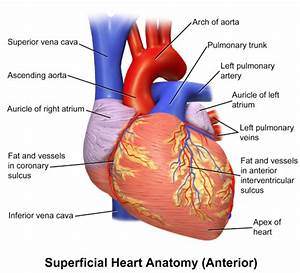 Herzzeitvolumen Berechnen : pumpfunktion des herzens das herzzeitvolumen und die ~ Themetempest.com Abrechnung