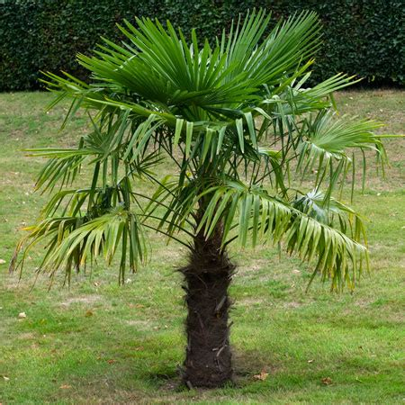 Windmill Palm Tree | Cold Hardy Palm Trees for Sale | Fast ...
