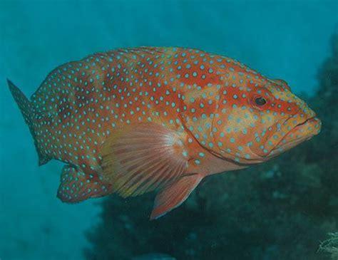 grouper coral leopard span plectropomus leopardus years