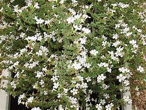 Bacopa plants for container gardening. Have you grown this ...