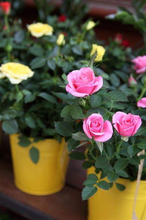 entretien rosier en pot crosne du japon stachys affinis