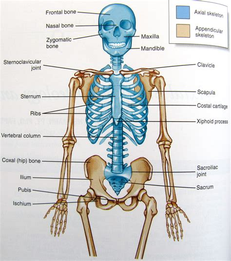 human axial skeleton pictures copy    student