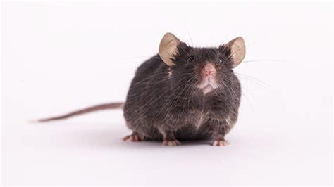 aged cblj mice