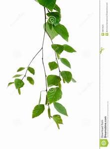 Branche De Bouleau : jeune branche de bouleau avec des bourgeons et des ~ Melissatoandfro.com Idées de Décoration