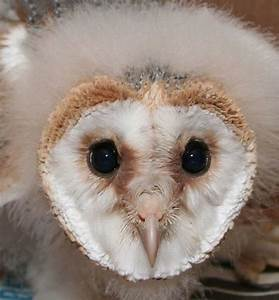 Baby Barn Owl 21 Pics Video