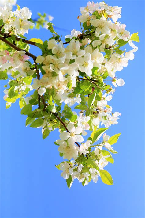 Free Images : flowers spring nature tree colorful