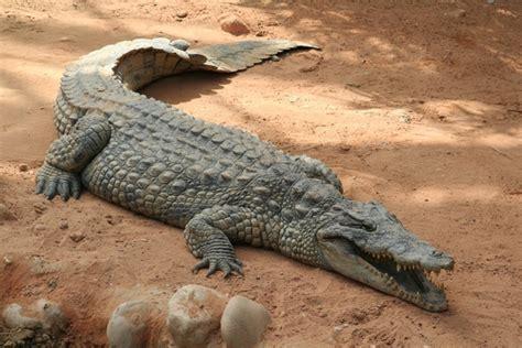 encyclop 233 die larousse en ligne crocodile