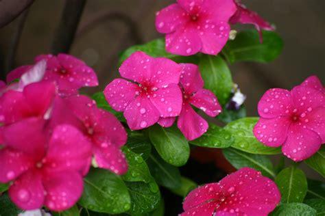 vinca flower vinca flower free stock photo public domain pictures