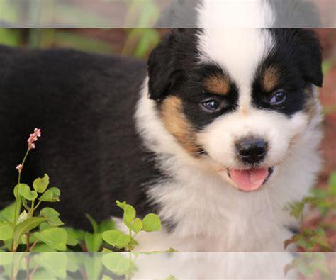 view breeder profile miniature australian shepherd dog