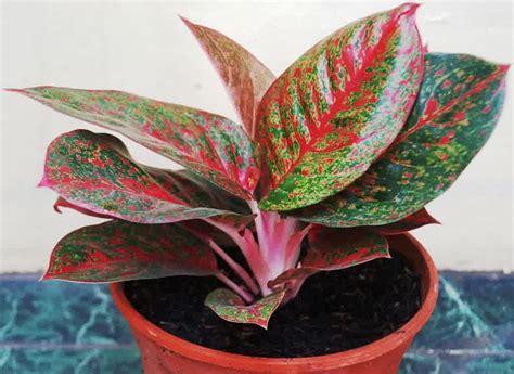 tanaman hias tanaman hias aglaonema terpopuler