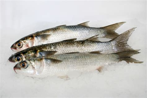 mullet  morgans  seafood store
