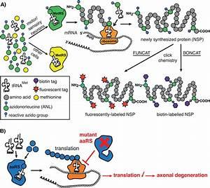 Impaired Protein Translation In Drosophila Cmt