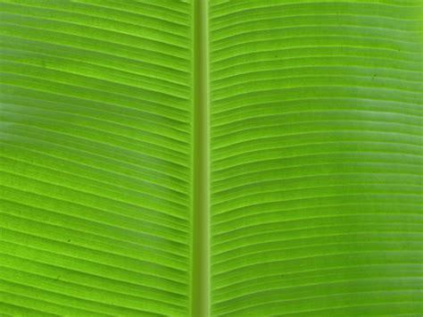 File:Banana Leaf at Agua Azul (8264762788).jpg - Wikimedia