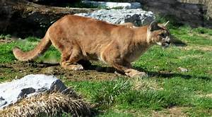 Numero De Cougar : hispanismos en ingl s la bit cora de carriazo ~ Maxctalentgroup.com Avis de Voitures
