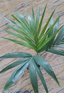 Palme Umtopfen Wurzeln Abschneiden : kentia palme in lechuza pon seite 1 palmen ~ Frokenaadalensverden.com Haus und Dekorationen