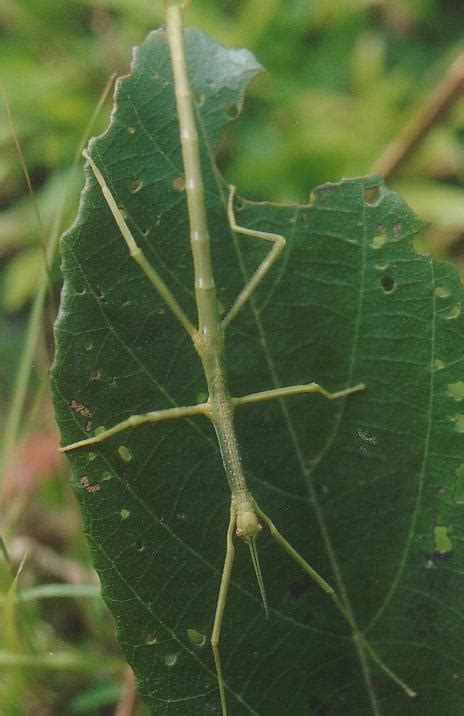 amazing stick insect giant stick bug facts