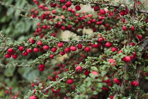 Rote Beeren Strauch Herbst by Reife Rote Beeren Strauch Im Herbst Stockfoto 169 Strobos