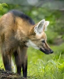 Maned Wolf Animal
