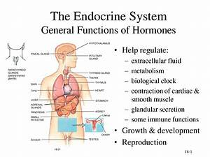 Labeled Endocrine System Diagram - Anatomy Human