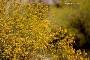 Yellow desert flower | Life in the Foothills