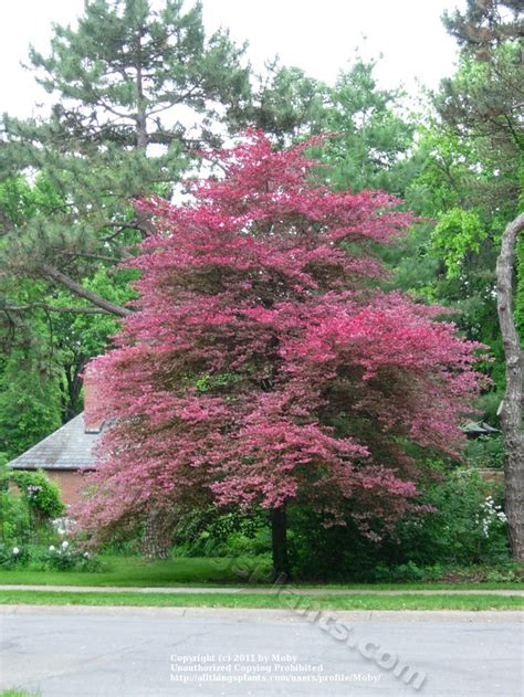 tricolor beech tri colored beech favorite trees pinterest