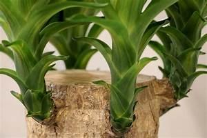 Yucca Palme Pflege : yucca palme schneiden so k rzen sie die palmlilie richtig ~ Eleganceandgraceweddings.com Haus und Dekorationen