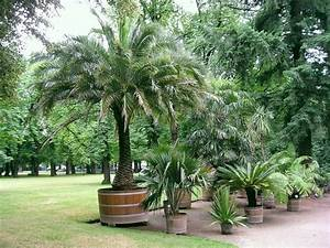 Phoenix Canariensis Entretien : culture des palmiers en pot en int rieur ou ext rieur esp ces entretien rusticit ~ Melissatoandfro.com Idées de Décoration