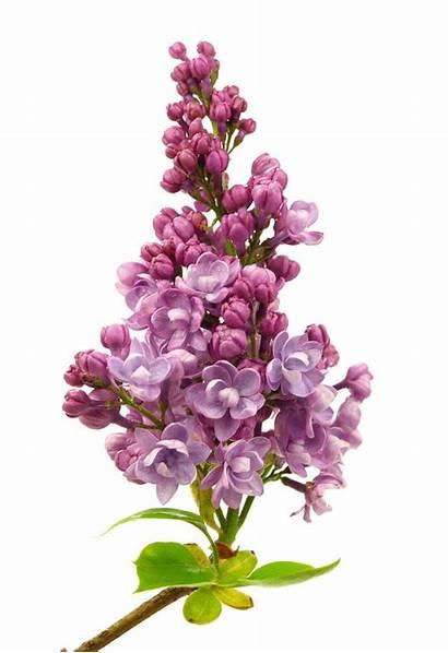 Lilac Tattoo Lilacs Flower Flowers Watercolor Google