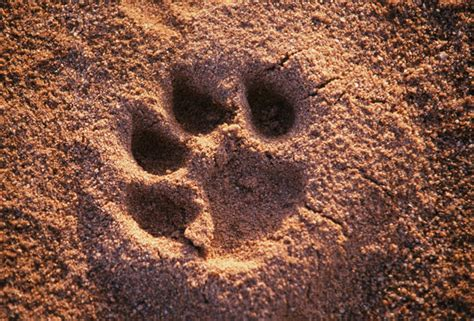 lion paw print   clip art  clip art