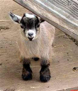 Cute Baby Pygmy Goats Images & Pictures - Becuo   Goats Be ...