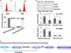 Ns1 Promotes Viral Protein Accumulation In G 0   G 1
