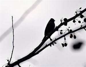 Cedar Tree Silhouette - Cliparts.co