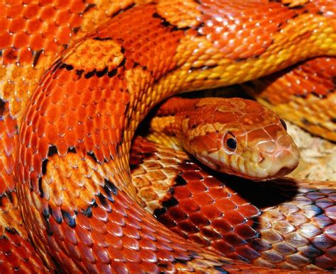 Corn Snakes - Your Go-To Domestic Serpent - Know In Detail