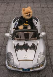 Funny Dogs in Costumes Batman