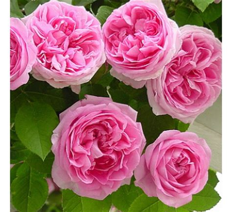 Buy Climbing Rose Pink Seeds  Pack Of 5 Seeds Online At
