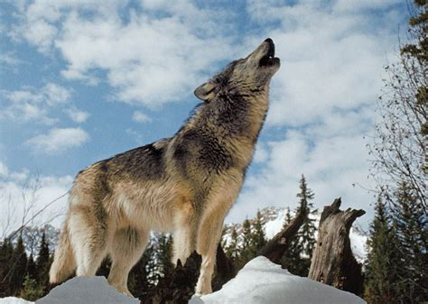 Alpha Wolf Wolf Pack Wallpaper by Wolves Fact And Fiction National Geographic Society