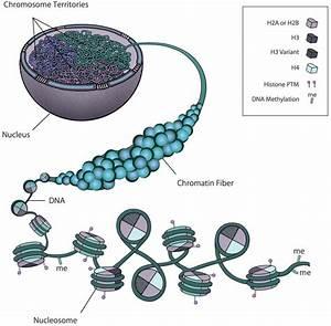 Diagram Of Chromatin : biology free full text insights into chromatin ~ A.2002-acura-tl-radio.info Haus und Dekorationen
