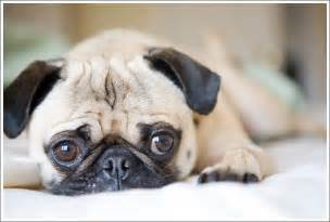 Cutest Pug Ever