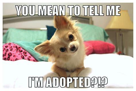 Puppies Memes - funny puppy meme jaxon the chihuahua pinterest