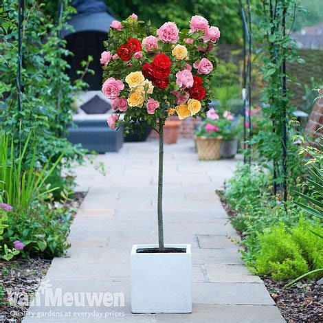rose tricolour standard van meuwen