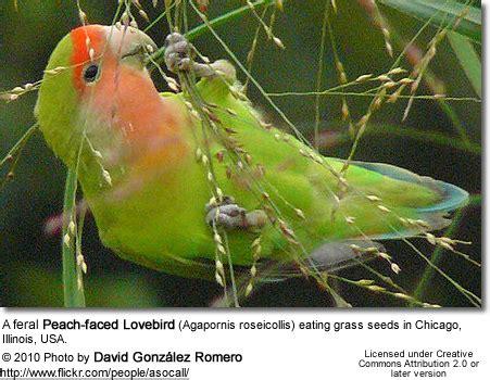 peachfaced  rosy faced lovebirds beauty  birds